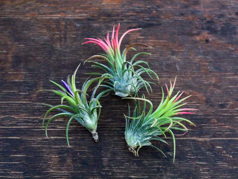 ionantha-fuego-air-plant-trio-pack